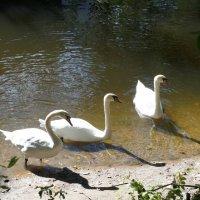 Троица, похоже, неразлучных лебедей :: Елена Павлова (Смолова)