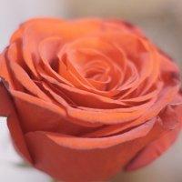 Роза :: Елена Лебедева