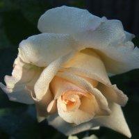 Кремовая роза на  заре! :: Евгений БРИГ и невич
