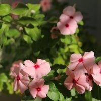 Последние цветочки (балконные радости) :: Леонид