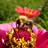 Пчелка :: Наталья Гусева