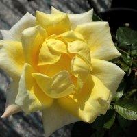 Жёлтая роза :: Светлана Лысенко