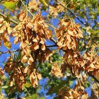Подует тёплый осенний ветерок, и эти семена превращаются в маленькие самолётики. :: Валентина ツ ღ✿ღ