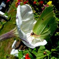 бабочка как капустный лист :: Александр Прокудин