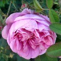Роза чайная... :: Нина Корешкова