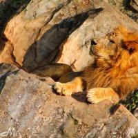 Царь зверей :: Артем Мамонтов