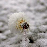 Снежный одуванчик... :: Витас Бенета