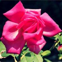 Романтические розы :: Swetlana V