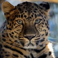 дальневосточный леопард :: Eugene Simachev