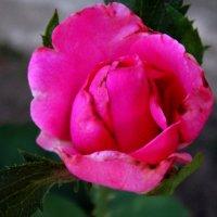Роза в конце августа... :: Тамара (st.tamara)