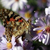 Бабочка :: Виталий Флюстунов