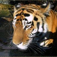 День тигра 2015 :: Вера