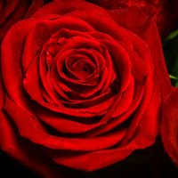 роза :: Андрей Выровой