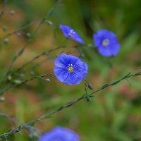 Полевые цветы.... :: Анатолий. Chesnavik.