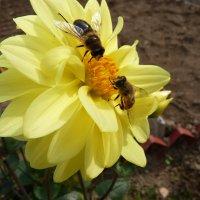 Собирать пыльцу не лень даже в конце сентября... :: Galina Leskova