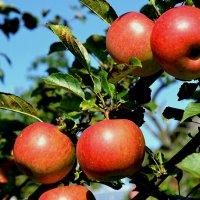 Созрели яблоки 2015 года :: Милешкин Владимир Алексеевич