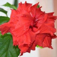 Гибискус  или (Китайская роза ) :: Наталья Мельникова