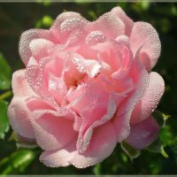 Утренняя роза :: Эля Юрасова