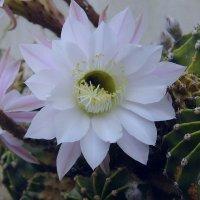 Эхинопсис трубкоцветный. :: Валерьян