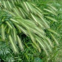 А в мае травы колосились... :: Нина Корешкова
