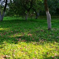 Яблоневый сад :: Милешкин Владимир Алексеевич
