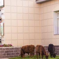 Кто пасётся на лугу? :: Георгий Морозов