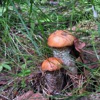 Июньские грибки :: Наталья И.