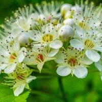 Ой цветёт калина! :: Борис Кононов