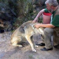 Волк, съёмка за стеклом :: ирина Пронина