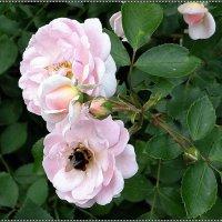 В гостях у розы :: Вера