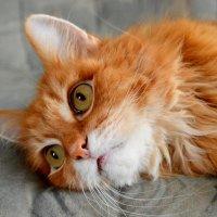 Рыжий кот :: Ксения Валерьевна