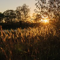 солнечный камыш :: Galina