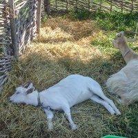 Счастливая коза.... :: Юлия Бабитко