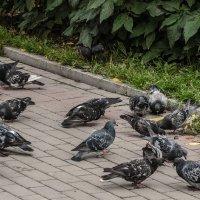 Местные голуби :: Михаил Вандич