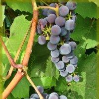 Виноград поспел :: Лидия (naum.lidiya)