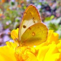 Октябрь уж на дворе...,а бабочки летают! :: Наталья