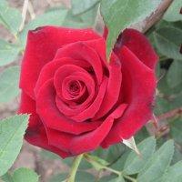 Мой сад - Вишневый бархат. :: Tatyana Kuchina