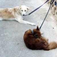 Собачки отдыхают после купания на море :: Герович Лилия