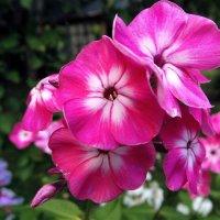 Розовый флокс :: Светлана Лысенко