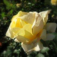 А розы ещё цветут.... :: Валентина Жукова