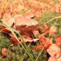 Шрамы - украшение октябрьских грибов :: Татьяна Ломтева