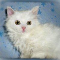 Смотрит в зеркало спросонок белый маленький котёнок ... :: Людмила Богданова (Скачко)