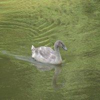 Слеток лебедя :: Maribago Maribago