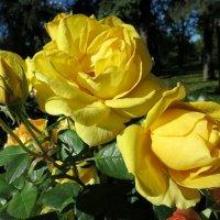Городские розы. :: Валентина Жукова