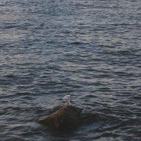 Чайка Финского залива (Санкт-Петербург, Петродворцовый район) :: Павел Зюзин