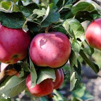 Яблочная гроздь ) :: Валентин Родоманов