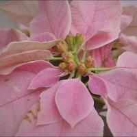 Розовое чудо :: Нина Корешкова