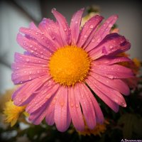 Ещё цветут.. :: Андрей Заломленков