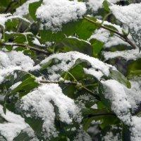 Сирень в снегу. :: Oleg4618 Шутченко