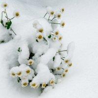 Ромашки под снегом. :: MVMarina